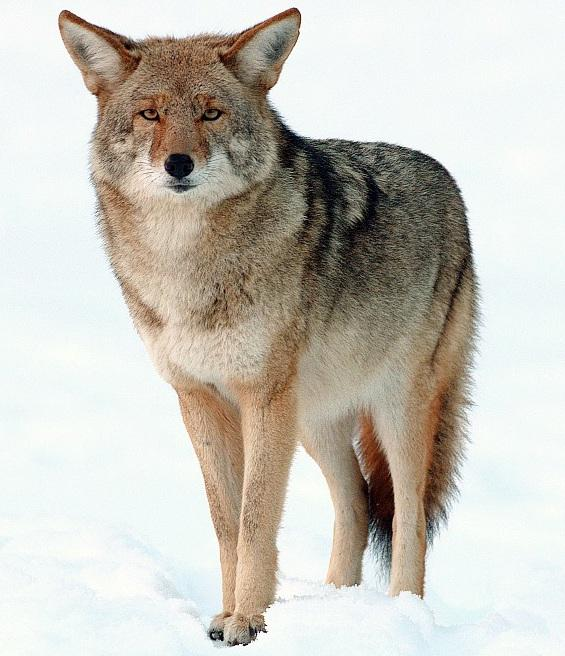 To catch a predator: Search for a coyote
