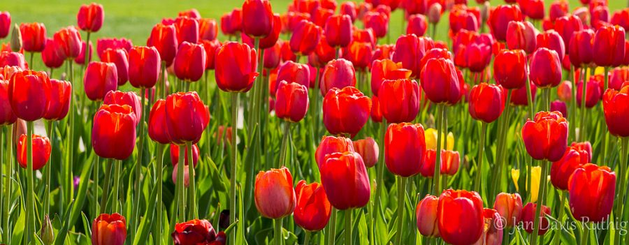 How+to+plant+a+tulip
