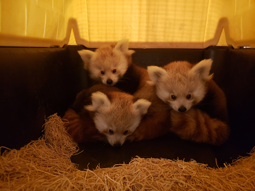 The Most Adorable Red Pandas In Your Backyard!